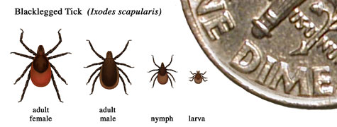 Relative sizes of several ticks at different life stages. In general, adult ticks are approximately the size of a sesame seed and nymphal ticks are approximately the size of a poppy seed.